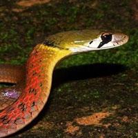 Rắn cổ đỏ: Loài rắn được nuôi làm cảnh có thể khiến nạn nhân bị chảy máu không ngừng đến chết