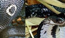 Những loài rắn hổ mang sống ở Việt Nam, tại sao không có hổ mang chúa?