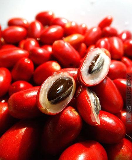 Quả thần kỳ có thể biến chua thành ngọt