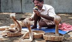 Thổi sáo có thật sự gọi được rắn không?