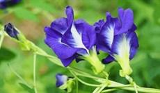 Hoa đậu biếc: Công dụng của hoa đậu biếc đối với sức khỏe và cách sử dụng
