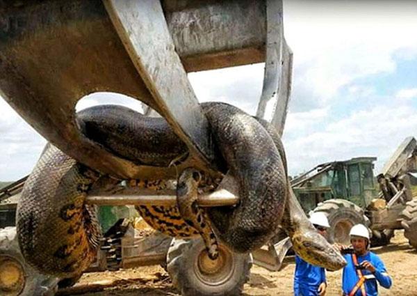 Cá thể rắn dài nhất thế giới và nặng nhất thế giới