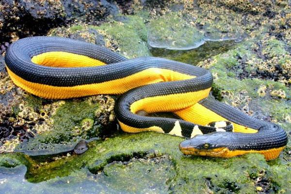 Loài rắn biển dài nhất