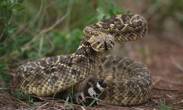 Loài rắn độc nặng nhất