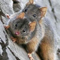 Chuột túi Antechinus: Loài vật 'làm chuyện ấy' trong 14 giờ, sẽ không dừng lại cho đến khi chết!