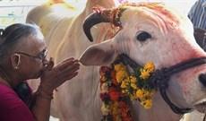 Vì sao bò ở Ấn Độ được coi là linh thiêng?