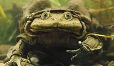 10 loài động vật xấu xí nhất hành tinh