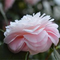 Middlemist Red, loài hoa hiếm nhất thế giới