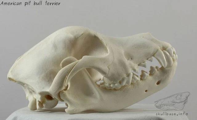 Cấu trúc xương hàm của chó Pitbull Mỹ.
