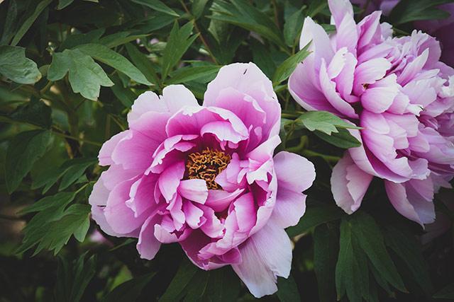 hinh nen hoa mau don may tinh