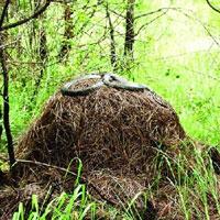 Hổ mang chúa là loài rắn duy nhất xây tổ, vậy chúng đã làm thế nào?