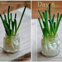 2 cách trồng hành lá tại nhà đơn giản, vừa đẹp vừa có rau sạch ăn