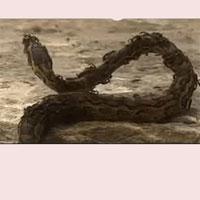 Xâm phạm lãnh thổ của kiến lửa, trăn đá chỉ biết quằn quại trong đau đớn và sớm phải bỏ mạng