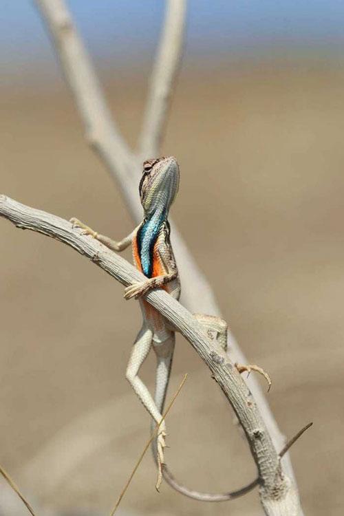 """Bức ảnh chụp một con thằn lằn đang tạo dáng có tên """"Thái độ"""" của nhiếp ảnh gia Aditya Kshirsagar. Nhiếp ảnh gia cho biết, anh bắt gặp con thằn lằn đực này đang đậu trên cành cây trong cái nóng cao điểm của mùa hè."""