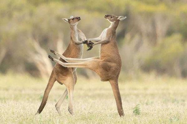 Khoảnh khắc đôi kangaroo đang đánh nhau, một con đã đá vào bụng đối phương được nhiếp ảnh gia Lea Scaddan bắt trọn. Trong ảnh, 2 con kangaroo trông giống như đang khiêu vũ với nhau vậy.