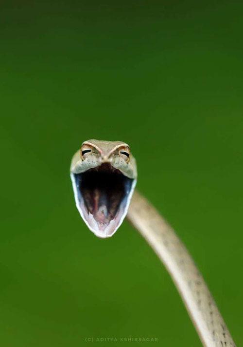 Một bức ảnh khác của Aditya Kshirsagar chụp con rắn dây leo - một loài rắn thường thấy ở Western Ghats, Ấn Độ đang há to miệng để thể hiện sự hung dữ.