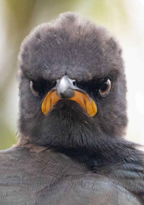 """Bức ảnh có tên """"Tâm trạng buổi sáng thứ Hai"""" của nhiếp ảnh gia Andrew Mayes. Bức ảnh chụp con chim trông cáu kỉnh này được thực hiện ở bên trong Khu bảo tồn thiên nhiên Rietvlei ở Nam Phi."""