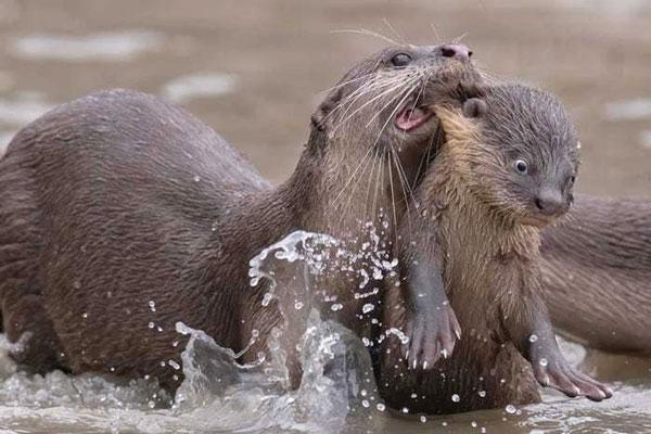 Cảnh con rái cá mẹ cắn tai con con để đưa nó đi học bơi được nhiếp ảnh gia Chee Kee Teo chụp lại.