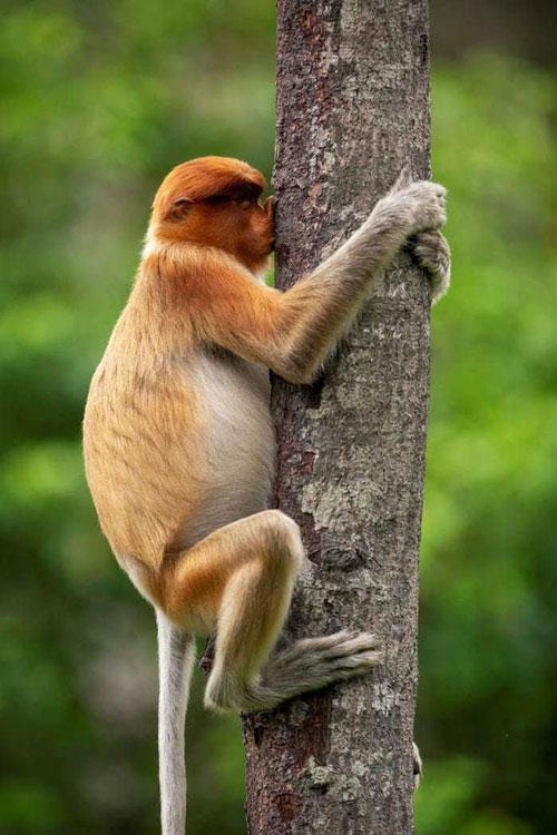 """Trong bức ảnh có tên """"Treehugger"""" của nhiếp ảnh gia Jakub Hodan, con khỉ trông giống như đang hôn một thân cây."""