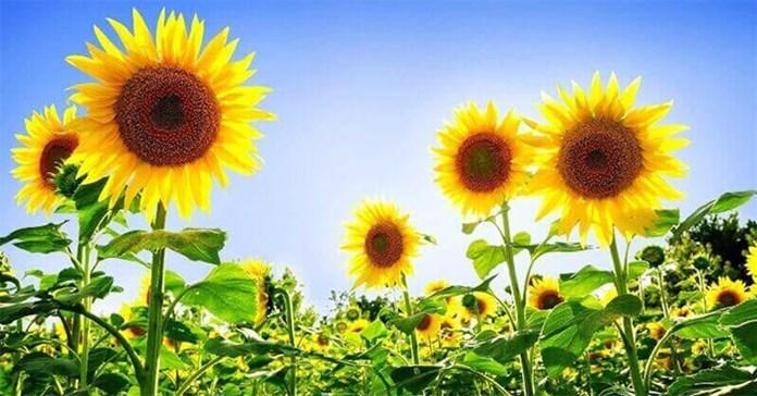 Khoảnh khắc hé nở đầy mê hoặc của hoa hướng dương