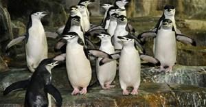 Video: Cách chim cánh cụt quai nón 'đi cầu'