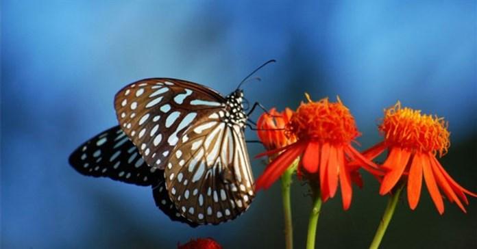 10 sự thật về loài bướm xinh đẹp khiến bạn kinh ngạc